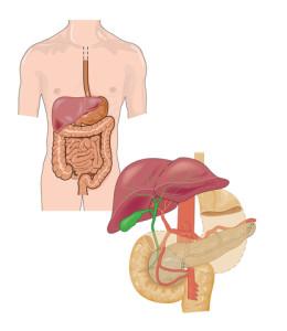 In evidenza la cistifellea posizionata sotto il fegato